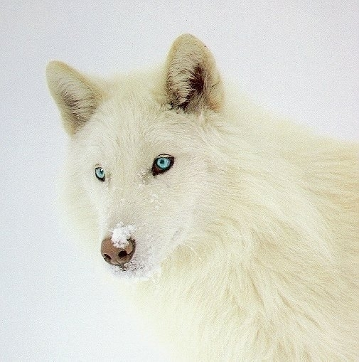 White And Blue Wolf White Wolf With Blue Eyes